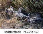 two juvenile spotted hyenas... | Shutterstock . vector #769645717