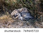 two juvenile spotted hyenas... | Shutterstock . vector #769645723