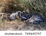 two juvenile spotted hyenas... | Shutterstock . vector #769645747