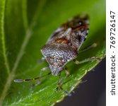 parent bug  elasmucha grisea  | Shutterstock . vector #769726147