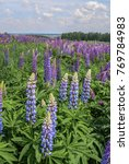 large leaved lupine  lupinus... | Shutterstock . vector #769784983
