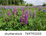 large leaved lupine  lupinus... | Shutterstock . vector #769792333