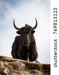 Small photo of Black yak standing on high ground from below, looking to the front, with cloudy sky as background. Gokyo, Himalayas, Nepal