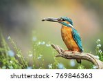 Small photo of Alcedo atthis, Kingfisher with fish on old wooden branch, Blue Flowers in background