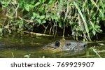 Swimming Nutria. The Coypu ...