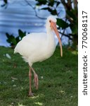 Small photo of Isolated up image of an American White Ibis bird (Eudocimus albus)