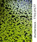 Small photo of Azolla on the surface naturally.