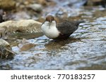 white throated dipper germany  | Shutterstock . vector #770183257