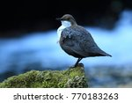 white throated dipper germany  | Shutterstock . vector #770183263