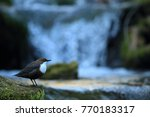 white throated dipper germany  | Shutterstock . vector #770183317