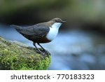 white throated dipper germany  | Shutterstock . vector #770183323