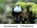 white throated dipper germany  | Shutterstock . vector #770186563
