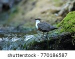 white throated dipper germany  | Shutterstock . vector #770186587
