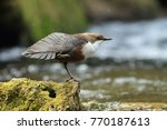 white throated dipper germany  | Shutterstock . vector #770187613