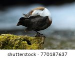white throated dipper germany  | Shutterstock . vector #770187637