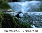 white throated dipper germany  | Shutterstock . vector #770187643