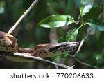 Small photo of Malagasy or madagascar tree boa manditra or sanzinia madagascariensis macro of head and body
