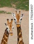 detail of two rothschildi... | Shutterstock . vector #770234557