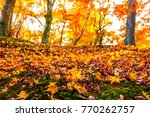 beautiful red maple leaves in... | Shutterstock . vector #770262757