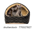 Stock photo peterbald in a pet basket 770327827