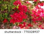 blooming bougainvillea. magenta ... | Shutterstock . vector #770328937