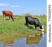 cows on a watering place | Shutterstock . vector #770330953