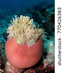 magnificent anemone  similan... | Shutterstock . vector #770426383