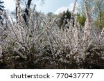 flowerbed with chinese dwarf... | Shutterstock . vector #770437777
