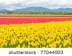 Garden Of Tulips At Skagit ...