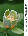 Small photo of Tulip Tree Flower Close Up
