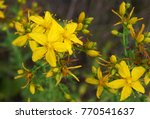 Hypericum Perforatum  Known As...