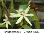 """""""clamshell orchid"""" flower  or... 