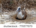 blue footed boobies  sula... | Shutterstock . vector #770577073