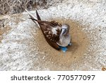 blue footed boobies  sula... | Shutterstock . vector #770577097