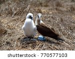 blue footed boobies  sula... | Shutterstock . vector #770577103