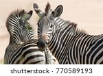 A Pair Of  Equus Quagga...