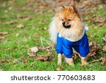 the wear  aggressive spitz dog... | Shutterstock . vector #770603683