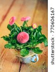 Small photo of a pot with daisies alias Bellis perennis