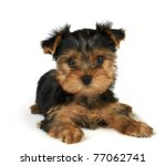 Stock photo puppy of the yorkshire terrier isolated on the white background 77062741