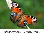 european peacock butterfly ... | Shutterstock . vector #770872903