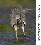 Small photo of A Yellow-crowned Night Heron (Nyctanassa violacea) in breeding plumage hunts for crabs in a lagoon - St. Petersburg, Florida