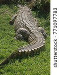 Small photo of VIEW FROM BEHIND OF NILE CROCODILE