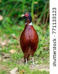 Small photo of A Ring-necked Pheasant