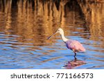 a roseate spoonbill  wading... | Shutterstock . vector #771166573