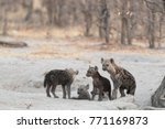 spotted hyena puppies coming... | Shutterstock . vector #771169873