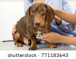 Stock photo close up of a beautiful brown dachshund on examining table at the vet clinic professional vet 771183643