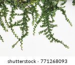 green creeper plant on a white... | Shutterstock . vector #771268093