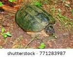 snapping turtle  chelydra... | Shutterstock . vector #771283987