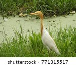 heron standing in green grass... | Shutterstock . vector #771315517