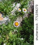 Small photo of Alpine Aster flowers